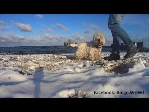 West Highland White Terrier dog tricks - slalom, target, turn around, walking back, stay.