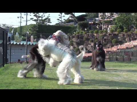20091031 Dog Ear  - 2 ( afghan hound )