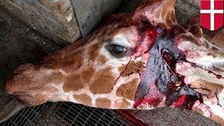 Молодого и здорового жирафа убили и скормили львам