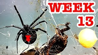 Catching more redback spiders ripped her legs off week 13