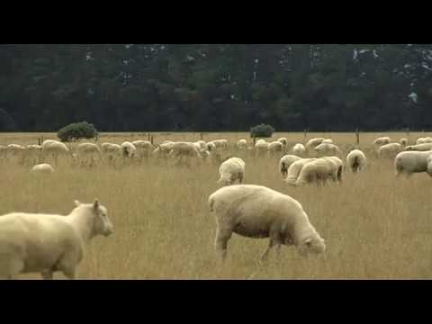 Sheep 01 - Free Stock Footage
