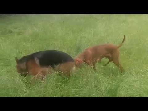 Hungarian Vizsla & German Shepherd loving each other.