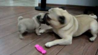 Homer & Lisa - 2 Pug Puppies