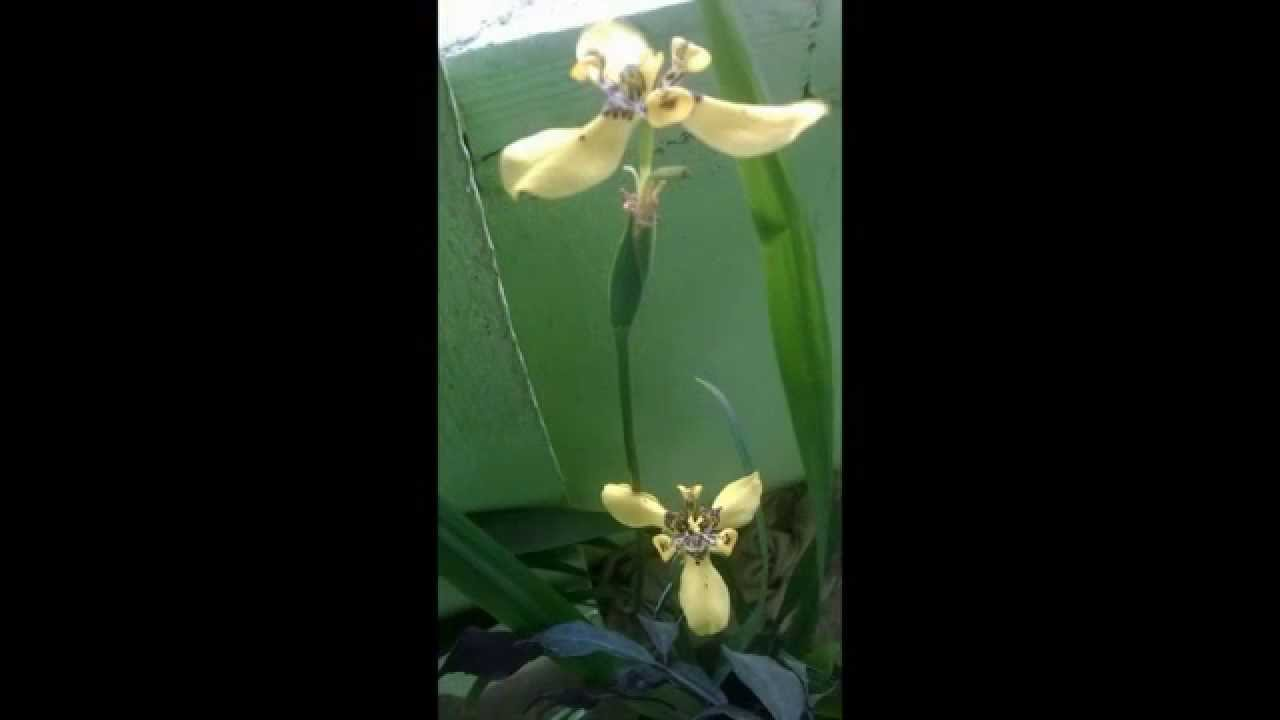 Iris planta com características semelhante a orquídea muito linda.
