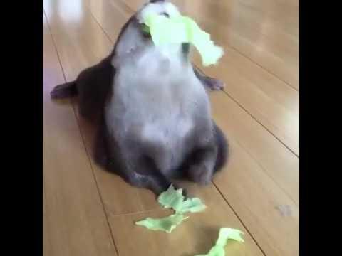 Otter eating lettuce