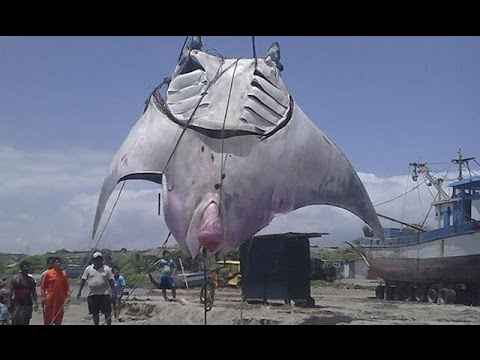 giant manta ray captured in peru over 4 meters youtube. Black Bedroom Furniture Sets. Home Design Ideas