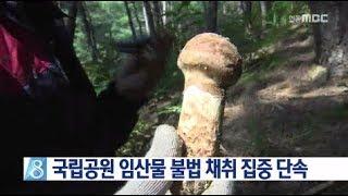 [안동MBC뉴스]국립공원 임산물 불법 채취 집중 단속