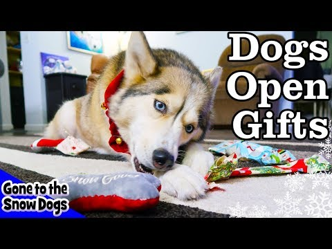 Husky Opening Christmas Presents | Dogs Open Christmas Gifts
