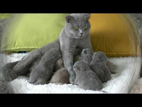 Британские котята в возрасте 12 дней (Litter- R2)