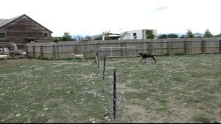 ニュージーランドの牧羊場で見たBLACK SHEEP(ブラックシープ)(黒い羊...
