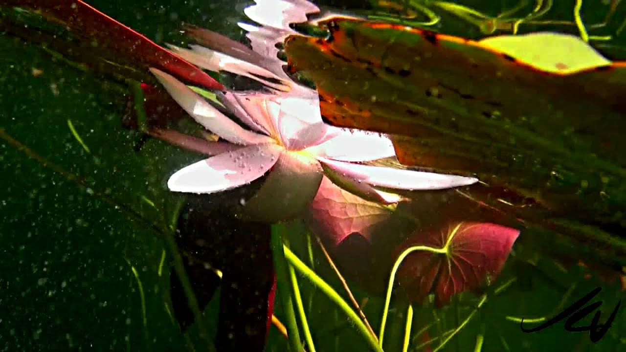 Wow look whats under the lily pads sony 1080i hd youtube wow look whats under the lily pads sony 1080i hd izmirmasajfo Images