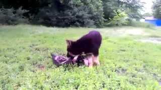 Бельгийская овчарка и немецкая овчарка.(Бельгийская овчарка породы Малинуа.Назвали Данка.Порода Малинуа - полные непоседы,любит бегать,прыгать,на..., 2014-06-21T20:39:43.000Z)
