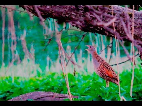 Всё о птице Коростель (дергач) Corncrake Crexcrex HD