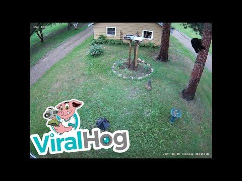 Tiny-Dog-Chases-Bear-up-Tree-ViralHog
