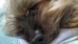 我が家のかわいい番犬です。 もうおじいちゃんなせいか、鼻がつまり気味...