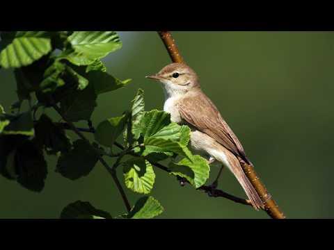 задницы могут утренние голоса птиц ивсей природы послушные