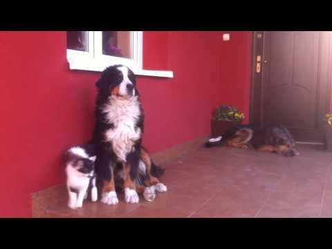 Kocie zaloty. Kot i Berneński pies pasterski. Bernese Mountain Dog.