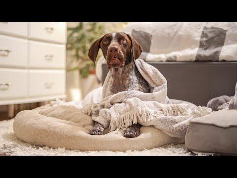 Waking up my dogs at 4am | German Shorthaired Pointer & Labrador Retriever