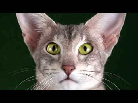 Moscow cattery - kitten Oriental breed - MASCOT