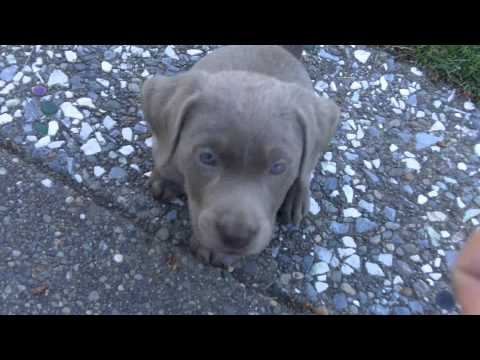 Trained my new 7 week old Silver (Lab) Labrador puppy to sit in 5 minutes.