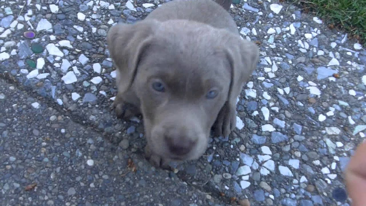 Training a labrador puppy to sit