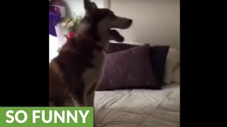 Defiant husky refuses to get off bed