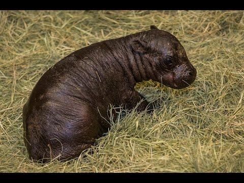 Pygmy Hippo Born at San Diego Zoo