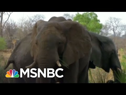 President Donald Trump Ends Ban On Importing Heads Of Hunted Elephants | The 11th Hour | MSNBC
