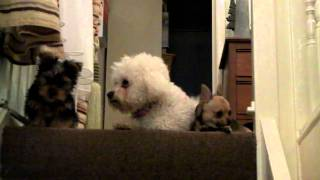 Bichon Frise Millie,  Chiwawa Alfie 2 And Yorkshire Terrier  Louie Top Of Stairs