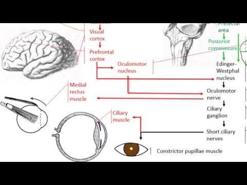 Anatomy of the accommodation reflex