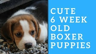 Cute Boxer Puppies - 6 Weeks old