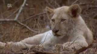 Weiße Löwen -- Afrikas seltene Jäger (1 von 3)
