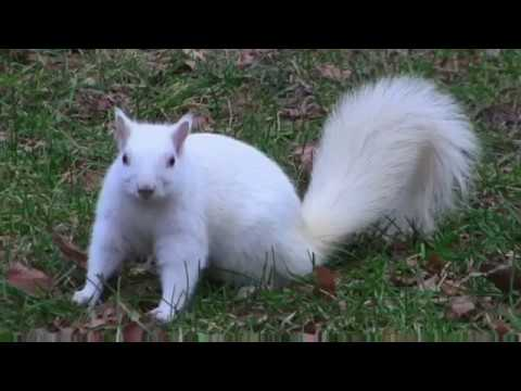 white squirrel Mandela Effect or GMO