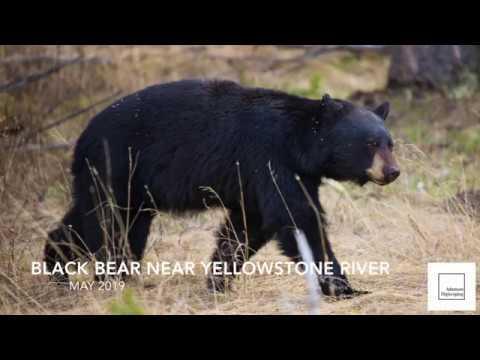Yellowstone Black Bear 2019