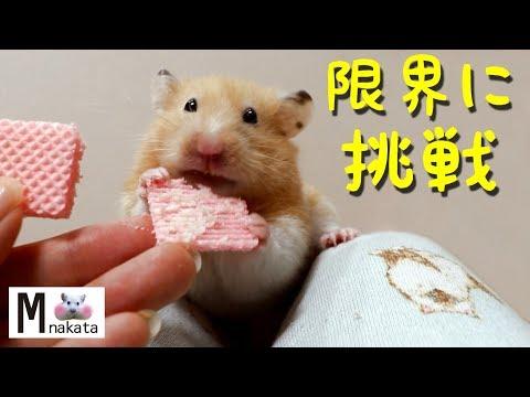 【ハムスター】ハムスターの口にウエハース何個入るか検証してみた!別荘大公開!おもしろ可愛い癒し How many wafers in the mouth of the hamster?