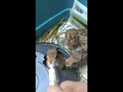 Feeding 3 Week Old Wild Baby Cottontail Rabbits