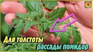 Подкормите ЭТИМ РАССАДУ помидоров чтобы была ТОЛСТЕНЬКАЯ Народная аптечка ДОМАШНИХ УДОБРЕНИЙ