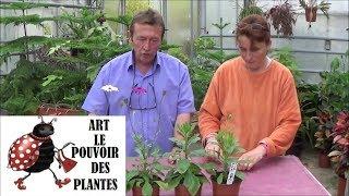 chaine tv de Jardinage: Dimorphothéca  ou Osteospermum: Comment faire un Semis: Plantes annuelles