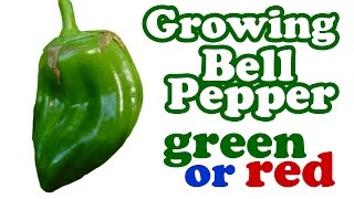 How To Grow Green Red Bell Peppers Plant From Fresh Seeds - Growing Planting Pepper Backyard Garden