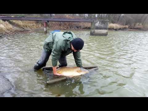 Rybník Nohavice dosazení ryb 2018
