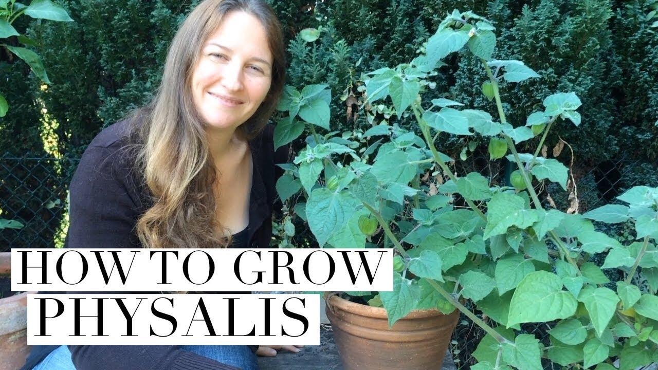 How To Grow Physalis In Pots Aka Ground Cherries Youtube