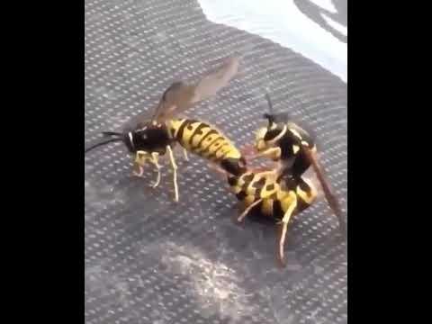 Как размножаются осы