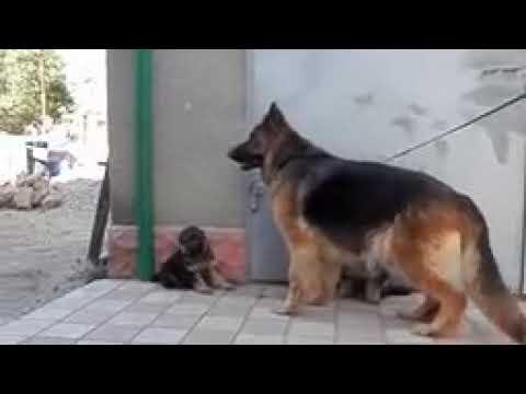 Long Coat German Shepherd Puppies For Sale In Delhi 09999039993 Kci