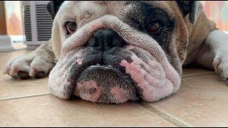 reuben-the-bulldog-a-disturbance-in-the-force