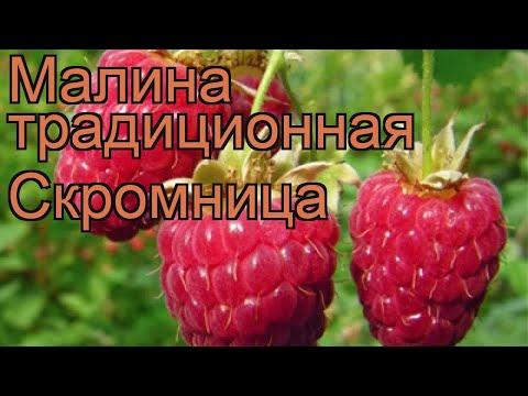 Малина традиционная Скромница (rubus) 🌿 малина Скромница обзор: как сажать саженцы малины Скромница