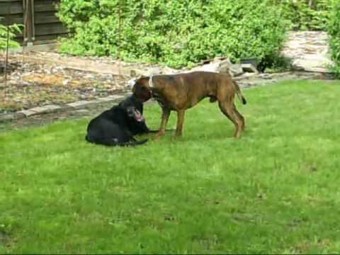 deutscher Boxer Henry und Till playing dogs