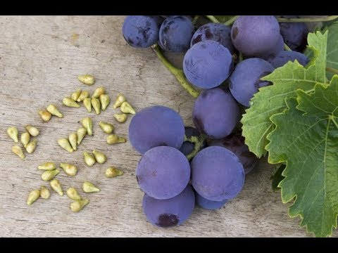 КОСТОЧКИ чёрного винограда - ЭЛИКСИР МОЛОДОСТИ!