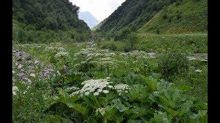 Борщевик Сосновского в горах Кавказа, на своей родине