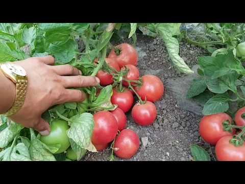 Какие сорта помидор сажаю на РАССАДУ. сравнительная характеристика