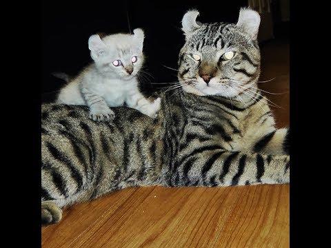 Lynx Hybrid - Rare Exotic Highland Lynx Hybrid Kittens - 9 WEEKS OLD 2017